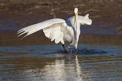 Great Egret_2059 (Ardea alba) (dennis.zaebst) Tags: florida fortdesoto greatwhiteegret egret bird naturethroughthelens naturesspirit naturescarousel
