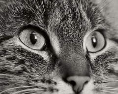 7e0_9285190-tuna (Wolfgang Lonien) Tags: animal cat catportrait tuna bw blackandwhite monochrome 54