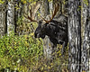 """Playing Peekaboo With A Bull Moose, Jackson Hole Wyoming (Hawg Wild Photography) Tags: moose animal animals wildlife nature terrygreen jacksonholewyoming grand teton tetons national park hawg wild photography nikon nikon600mmvr nikond4s"