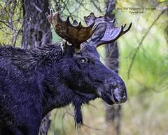 """The Look"" (Hawg Wild Photography) Tags: moose wildlife nature animal animals jacksonholewyoming grand teton tetons national park terrygreen nikon nikon200400vr d810 hawg wild photography"