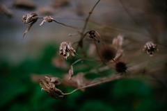 Seed Heads (mdss68) Tags: fujixpro2 fujixf35mmf14 fall autumn colour nature vsco fujivelvia50