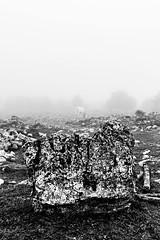 ... (Luca Maresca) Tags: 2016 autunno bosco nebbia ottobre sanmarco minimal biancoenero blackandwhite bw san marco vacche mucche puglia parco