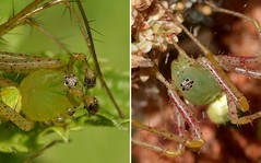 Male and female Green Lynx Spiders showing the difference in their palps (Treebeard) Tags: male female greenlynxspider peucetia oxyopidae palp sanmarcospass santabarbaracounty california