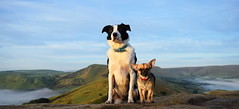 Little and large (lisheeny) Tags: chihuahua border collie dog pet dogs animal mam tor derbyshire peak district morning cloud inversion littledoglaughedstories