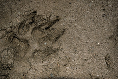 Nttml (alejo.365shoots) Tags: footprint track dog mud mountain 365