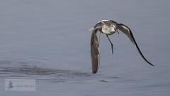 Archibebe claro (Tringa nebularia) (jsnchezyage) Tags: archibebeclaro tringanebularia ave pjaro vuelo fauna naturaleza birding bird