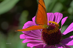 Julia heliconian (justkim1106) Tags: nature flower zinnia animal wildlife texas montell uvaldecounty insect butterfly longwing heliconian