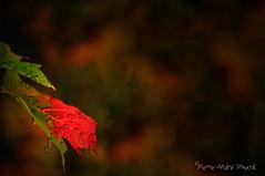 """Pluie d'octobre ... ( P-A) Tags: automne couleur forêt parcdelagatineau couleurs beauté majestueux arbres balades saisons visiteurs photos simpa© """"nikonflickraward"""" pluie octobre pierreandré simard ariste photographe 819 775 1015 httpwwwflickrivercomphotossimpa httpswwwfacebookcompierreandresimard rougeetnoir"""