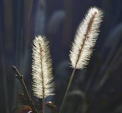 Morning Glow (mslabrat13) Tags: foxtailgrass weed glow macro backlit macromonday