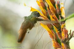 Amazilia Hummingbird at Flower (bob golden) Tags: bird botanicgarden outdoors peru trujillo wildlife hummingbird amazilia