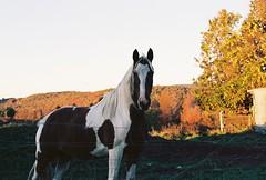 Fall Foliage Horse Portrait (Nsharp17) Tags: nikon nikonfe film 35mm kodak ektar ektar100 horse farm vermont autumn fall foliage goldenhour