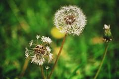 Stationen (***toile filante***) Tags: flowers blumen dandelion pusteblume nature natur herbst autumn dandelionseeds
