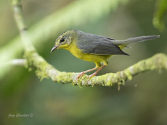 Golden-crowned Warbler (Basileuterus culicivorus) (Jorge Chinchilla A.) Tags: goldencrowned warbler basileuterus culicivorus jorgechinchilla photography costarica birds