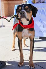 dudleywalker-6039 (angelsrescue) Tags: aau pets angels among us pet rescue alpharetta ga dog love
