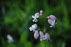 Wild Flower (Hugo von Schreck) Tags: hugovonschreck outdoor wildflower wildblume macro makro flower blume blte canoneos5dsr tamron28300mmf3563divcpzda010