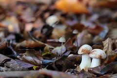Shroom time! (RW-V) Tags: canoneos70d canonef100mmf28lmacroisusm mushrooms mushroom macro champignons champignon pilze pilz paddestoelen paddestoel fungi fungus forest fort wald woud woods bos herbst herfst autumn automne 80faves 100faves 120faves 150faves