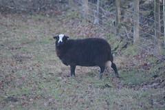 Baa Baa Black Sheep... (Clint__Budd) Tags: 116picturesin2016 nurseryrhyme