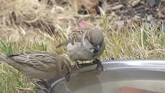 Competition (prondis_in_kenya) Tags: kenya nairobi shortrains bird birdbath sparrow garden water drought splash drink video