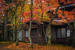 Momiji (Red Leaves) (elenaleong) Tags: naka5karuizawa sakamoto 軽井沢町 momiji koyo redmaples karuizawa nagano elenaleong autumnleaves redleaves