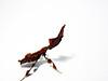 Phyllocrania paradoxa (Obsuritas Mortiferus) Tags: insect macro nikon mantid mantis ghostmantis phyllocrania paradoxa bug