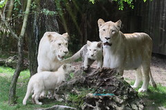 White Lions (Noodles Photo) Tags: whitelions lwe cubs sugetier pantheraleo zoodelaflche raubtier france weiselwen zoo