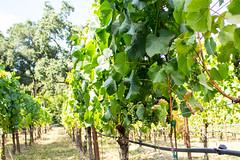 Vineyard Paths (marylea) Tags: vineyard 2016 jul15 grapes vine vines california green plants gardens