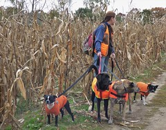 Safety-Vested (FoxInTheWoods) Tags: safetyvest orange dogs dogwalker bostonterrier cornfield autumn fall huntingseason animal outdoor cornstalks pets