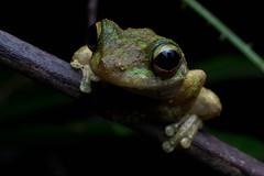 IMG_9922 (stephanietodd2) Tags: frog litoria serrata