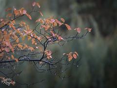 Gentle Rain (judithrouge) Tags: rain regen regentropfen raindrops herbst autumn autumnal leaves blätter ast branch orange green grün herbstfarben colors mistwetter crappyweather weather