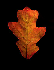 IMG_0016 Red Oak from the Driveway (oldimageshoppe) Tags: leaf redoak backlight fallcolors stilllife