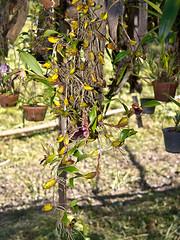 Epigeneium amplum (Eerika Schulz) Tags: gorn thailand orchidee orchid epigeneium amplum eerika schulz
