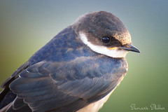 The white-throated swallow (Hirundo albigularis) (Sumarie Slabber) Tags: sumarieslabber southafrica swallow dof bird birding closeup eye wildlife wild nature nikon northwest
