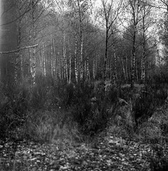 Birch Forest (sandrovonah) Tags: ilford ilfordfp4 ilfordfp4125 hasselblad hasselblad500 hasselblad500c hassi birch forest mountains highlands grass ticino tessin blackwhite bw carlzeiss carlzeissplanar carlzeissplanar80mmf28