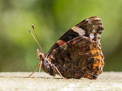 A place in the sun - Ein Platz an der Sonne (Uli) (Uli-Joe) Tags: admiral bokeh canonef100400mmf4556lisiiusm canoneos7d macro nahaufnahme redadmiral underside unterseite vanessaatalanta wildlebendestier wildlifeanimal winzlar closeup butterfly