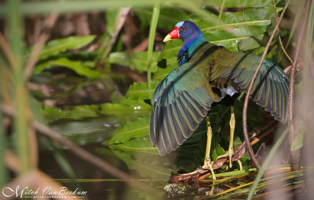 Deep In The Jungle - Purple Gallinule