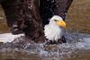 Bald eagle (Michal Jeska) Tags: bald eagle adler seeadler weiskopfseeadler vogel greifvogel raubvogel bird prey canonef400mmf56lusm canon 400mm 56 l zoo neunkirchen saar