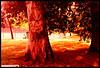 Tree of Life (OLLY774) Tags: rolleinightbird nikonf75 film colournegativefilm treeoflife redscale 800iso