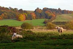 Autumn Sheep (AndyorDij) Tags: barnsdale barnsdalehill barnsdalecountryclub burleyreach england rutland uk unitedkingdom 2016 andrewdejardin autumn trees tree fields sheep hedgerow rutlandwater