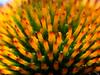 Sonnenhut (berndtolksdorf1) Tags: echinacea sonnenhut makro pflanzen blume blüten garten natur outdoor flower blossom wassertropfen