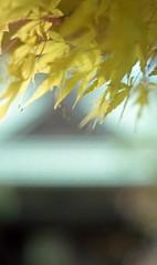 Colored leaves in neighborhood 2016/11 No.1(taken by film camera). (HIDE@Verdad) Tags: asahipentaxspotmatic pentaxsp supertakumar55mmf18 kodakportra160 portra160