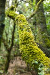 Laurisilva (karlos m forero) Tags: canarias gomera garajonay naturaleza laurisilva bosque pentax k5 sigma isla musgo flora