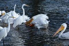 American White Pelicans & Egrets (linda m bell) Tags: bonellipark sandimas california 2016 birds birdwatching americanwhitepelicans egrets