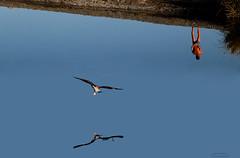 Le acque chete (meghimeg) Tags: 2016 sestrilevante riflesso reflection fiume river torrente acqua uomo man blu blue azzurro uccello bird gabbiano