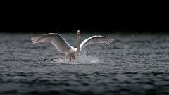 'Diva' (Jonathan Casey) Tags: swan landing whitlingham great broad norfolk uk water splash nikon d810 400mm f28 vr