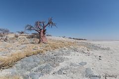 31-Botswana_2016 (Beverly Houwing) Tags: africa baobab botswana desert kalahari kubuisland makadigkadipans rocks saltpan tree