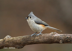 Tufted Titmouse 1  12-3-16 (Cal-Photo) Tags: birds backyardbirds tennessee middletennessee wildlife nature tuftedtitmouse