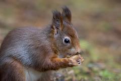 Red Squirrel Sciurus Vulgaris (kevinclarke1969) Tags: red squirrel vulgaris mammal uk england animal sciuris