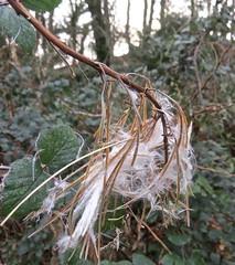 6335 Seed heads of the Rosebay Willowherb - Chamerion angustifolium (Andy - Busyyyyyyyyy) Tags: 20161105 aaa aberlleiniog ccc chamerionangustifolium fff forest rosebaywillowherb rrr seedhead sss www