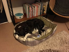 Hang on tight to your bed! (What I saw...) Tags: molly border collie dog bed
