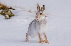JWL5932 Mountain Hare.. (jefflack Wildlife&Nature) Tags: mountainhare heathland hares hare animal animals moorland mammal moors glens countryside cairngorms nature